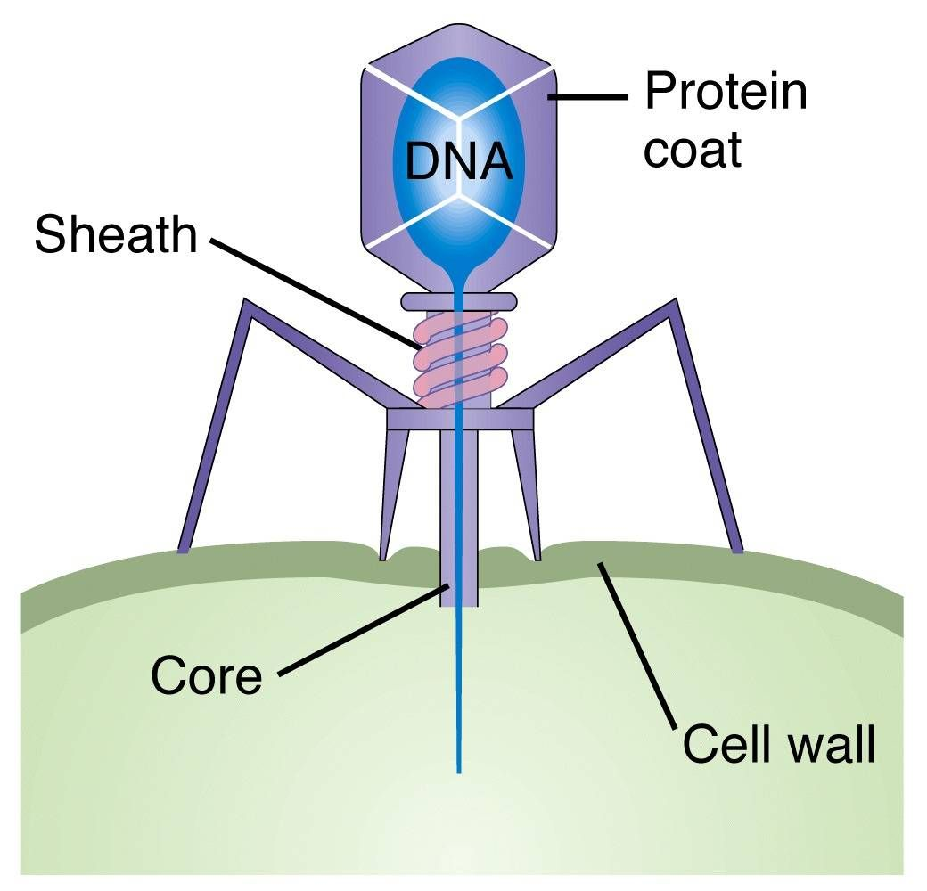 A bacteriophage is a virus that targets and destroys bacteria they a bacteriophage is a virus that targets and destroys bacteria they contain dna that is injected into the bacteria to take it over ccuart Gallery