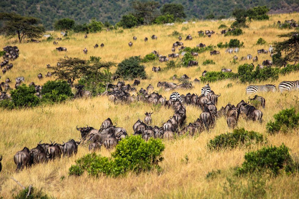The Great Migration at Cottar's 1920s Camp, Kenya.