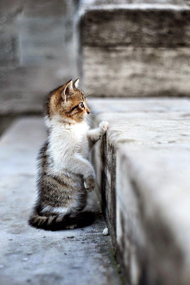 17 Terbaik Gambar Tentang Cat Di Pinterest Kucing Scottish Fold