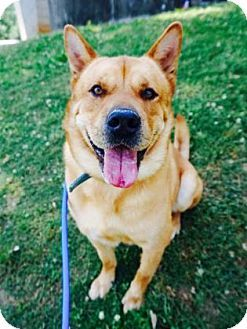 Atlanta Ga Chow Chow Shar Pei Mix Meet Simba A Dog For