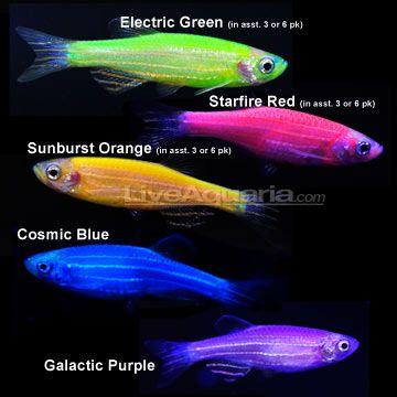 Freak Week Iv Glofish Return Glofish Freshwater Aquarium Fish