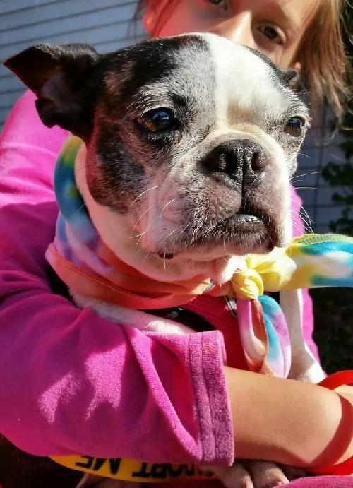 Meet Lulu Bell Tn A Petfinder Adoptable Boston Terrier Dog