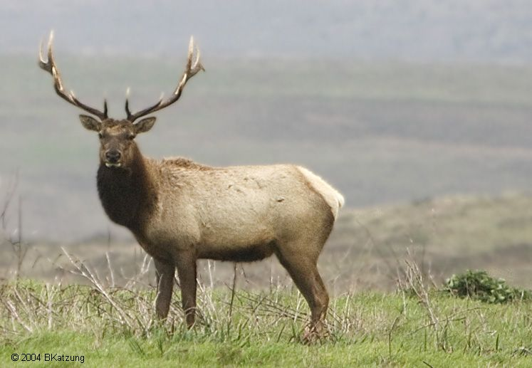 15 Amazing Animals That Start With The Letter E Elk Pictures