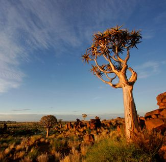 Quivetree  or kokerboom - SOUTH AFRICA