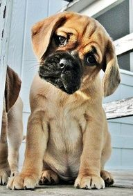 Love Puggles My Little Baby Dixie Beautiful Dog Breeds