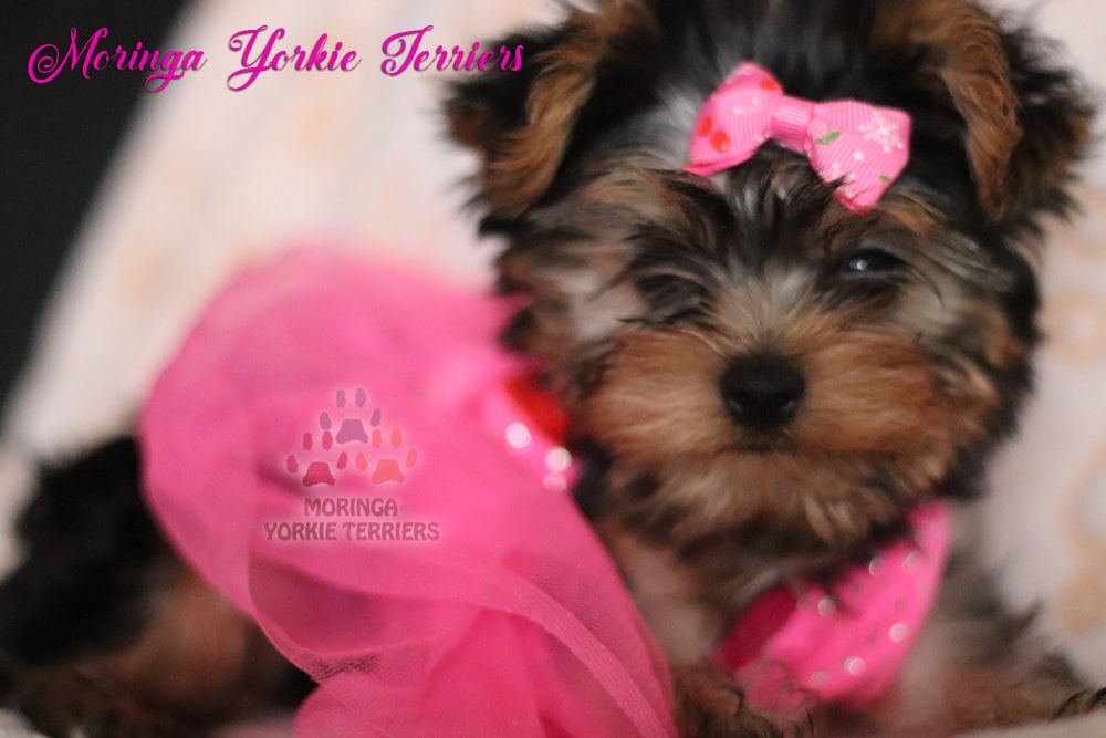 Parti yorkie puppies for sale near me
