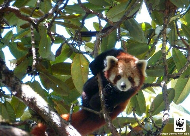 Red Panda | Places I want to visit | Pinterest | Red panda and Panda