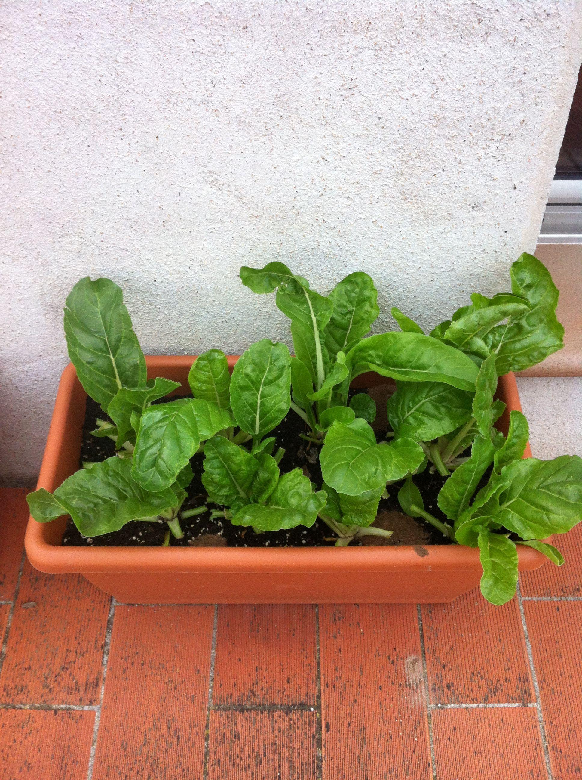 Acelgas Garden Ideas Cultivos En Casa Huerto Y Cultivo