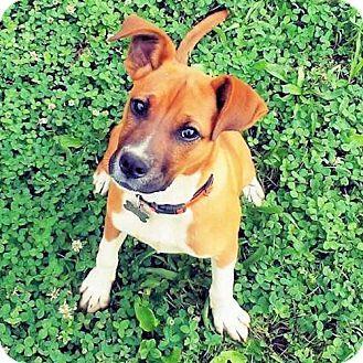 Framingham, MA Boxer Mix. Meet JellyBean, a dog for