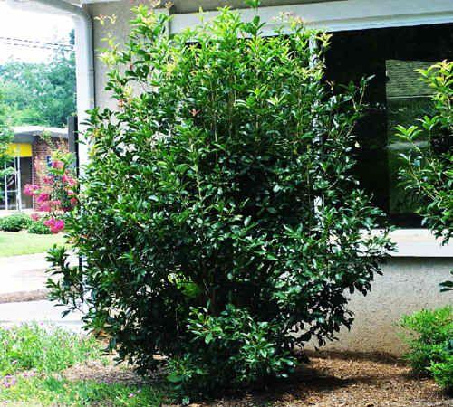 Another Fragrant Favorite Osmanthus Fragrans Fragrant Tea Olive