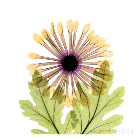 Chrysanthemum Prints by Albert Koetsier at AllPosters.com