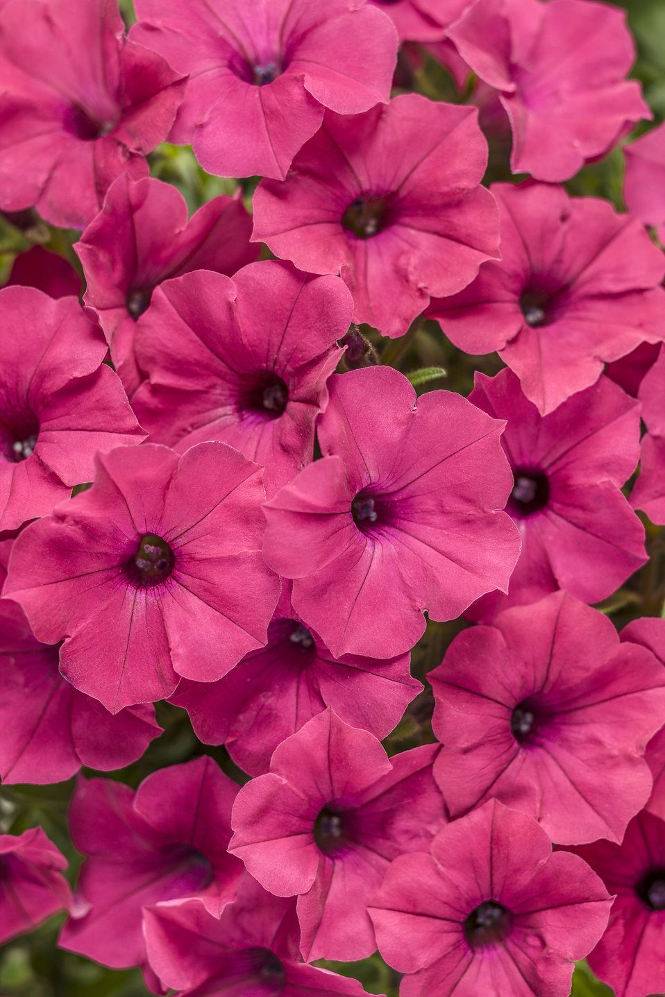 Supertunia Vista Fuchsia Petunia Hybrid Petunias Flowers Perennials Beautiful Flowers