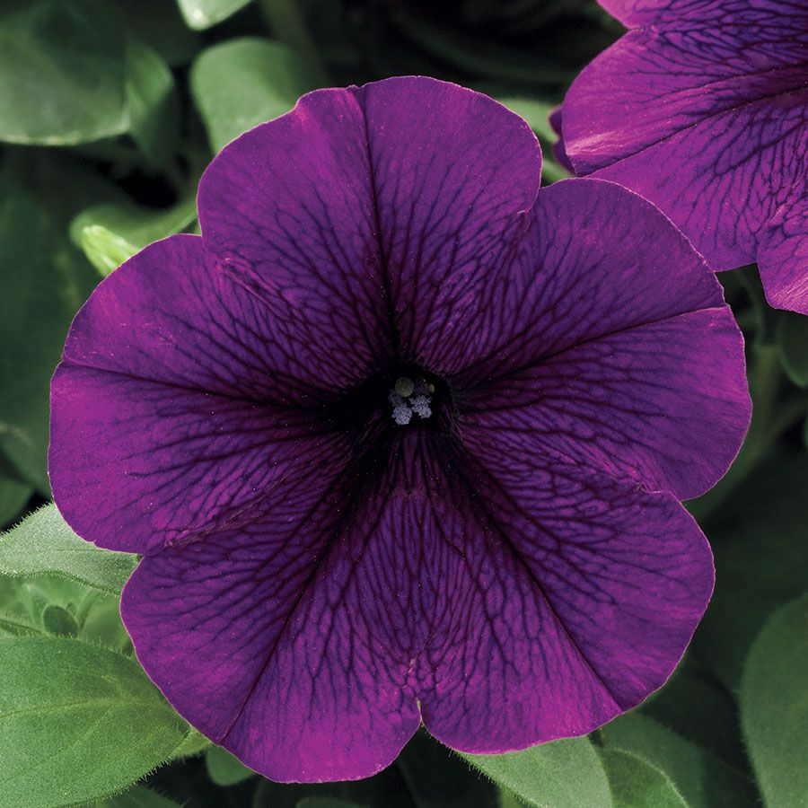 1f4ec3a37 Trilogy Deep Purple Petunia Seeds from Park Seed | Flowers | Purple ...
