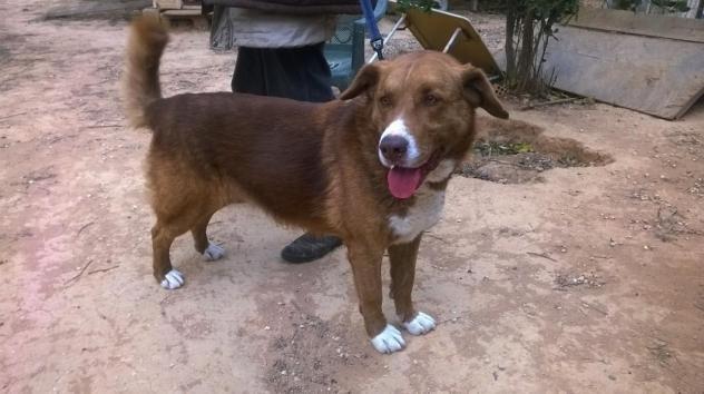 Adopt BOBO ***Please adopt me*** on Chocolate labrador