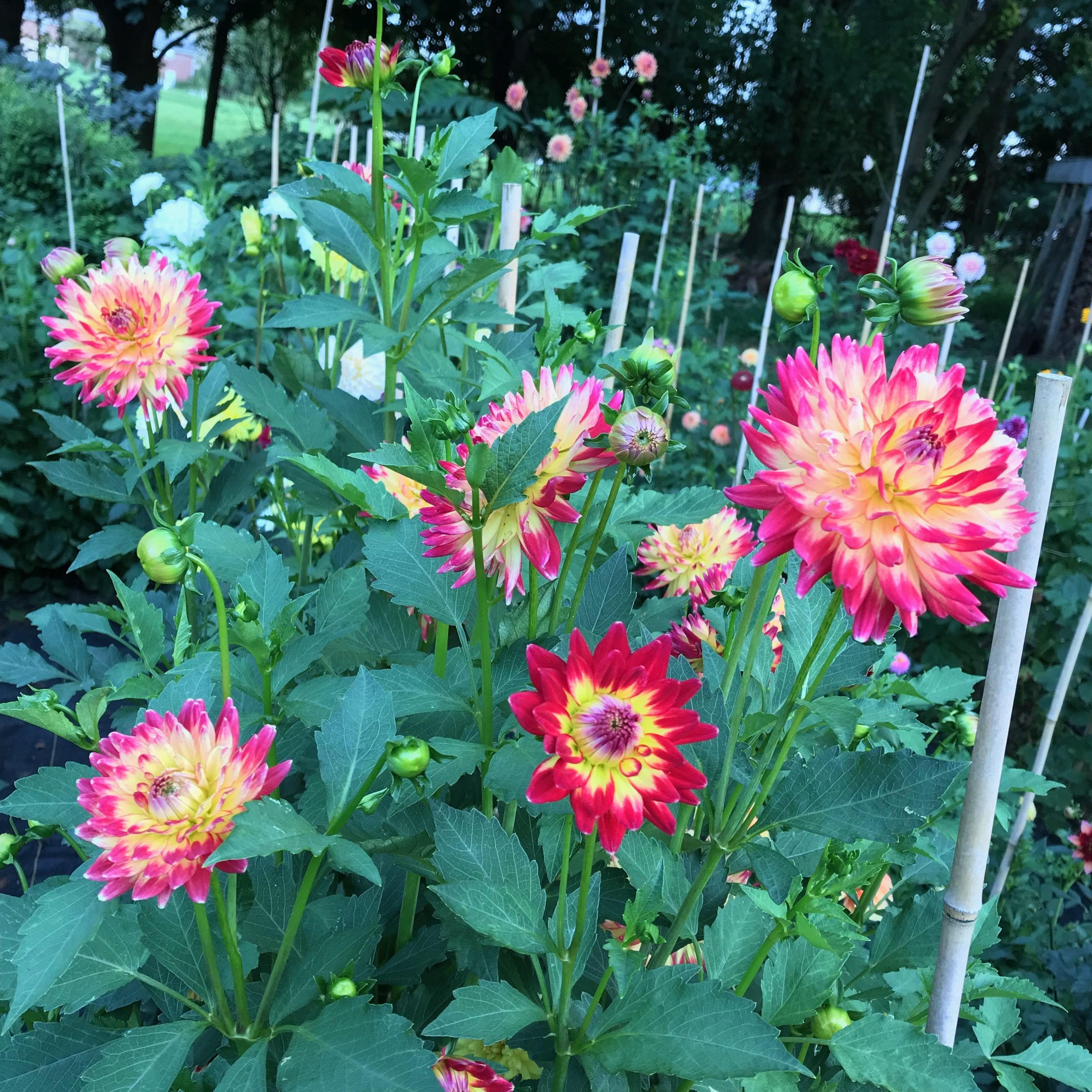Wildcat Dahlia So Varied And Fun To Look At Each Flower Dahlias Garden Dahlia Flower Dahlia