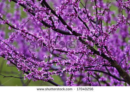 Flowering Tree Identification Purple Flowering Tree Stock Photo 17040256 Shutterstock Purple Flowering Tree Flowering Trees Purple Flowers