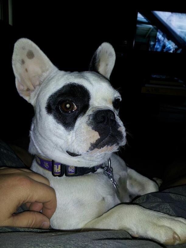 Attention Attention Attention This Is Gabby She Was Stolen From Her Home On Feb 27th During A Burglary She Is A White French Bulldog With A Black Right Ey