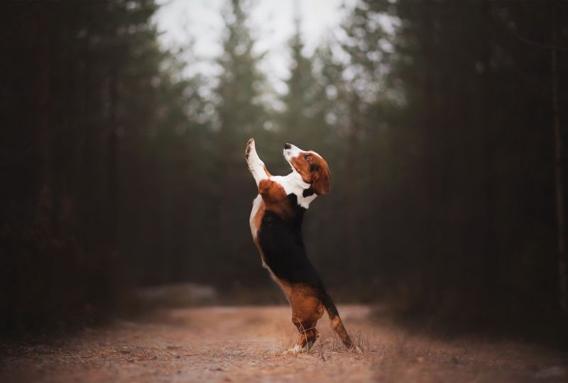 Animal Beagle Dogs Dog Pet Depth Of Field Hd Wallpaper Wallpaper