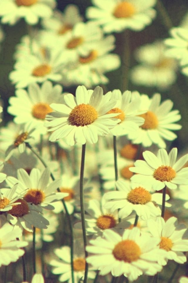 Vintage Daisies Photography IPhone 4s Wallpaper