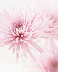 Chrysanthemums - light pink