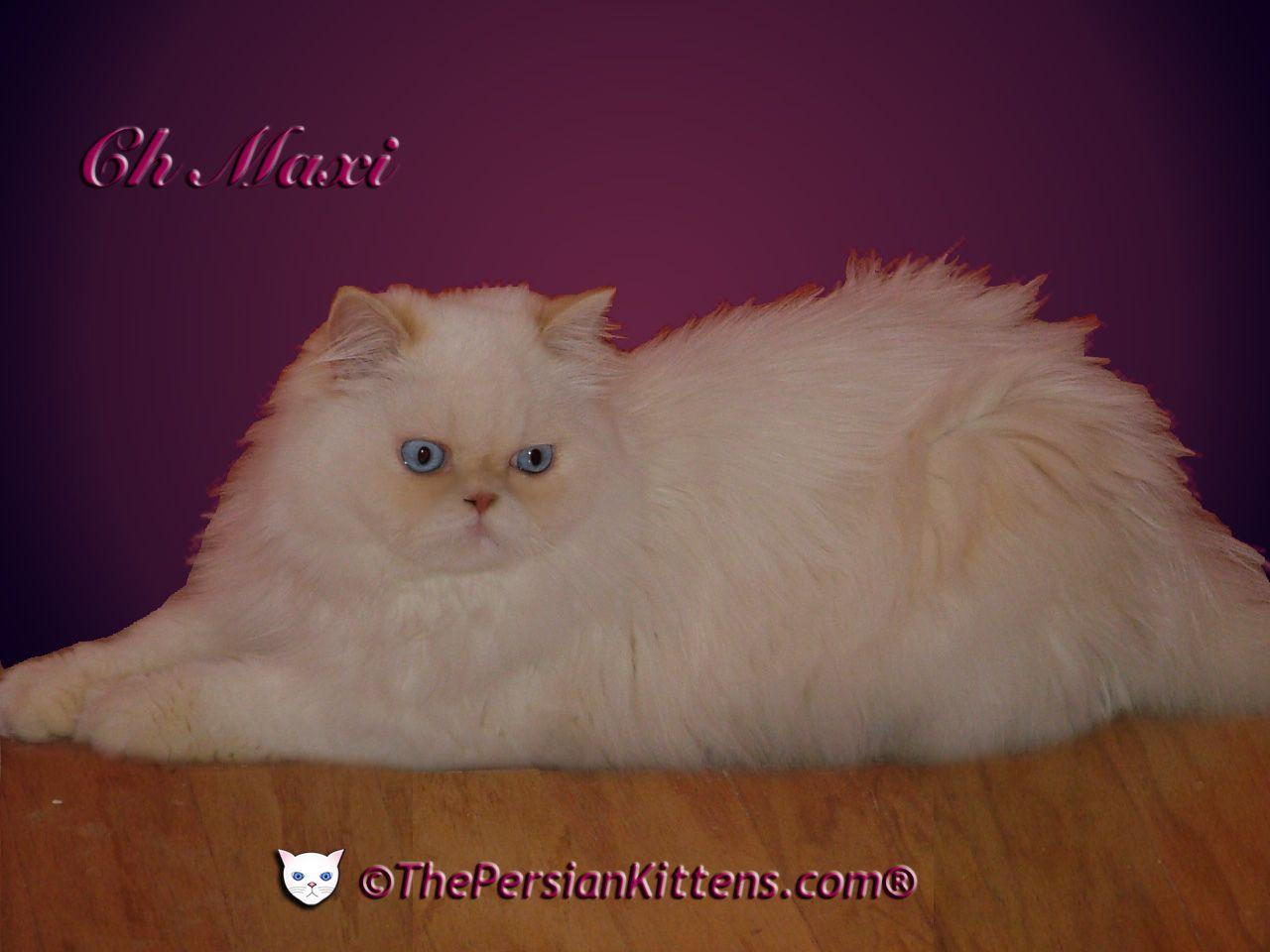 Persian Kitten Maxi Jpg 1280 960 Himalayan Kitten Himalayan Kittens For Sale Kitten For Sale