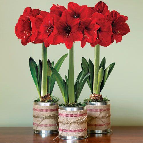 Trio of red amaryllis gift bulb decorate your own home for Oignon amaryllis