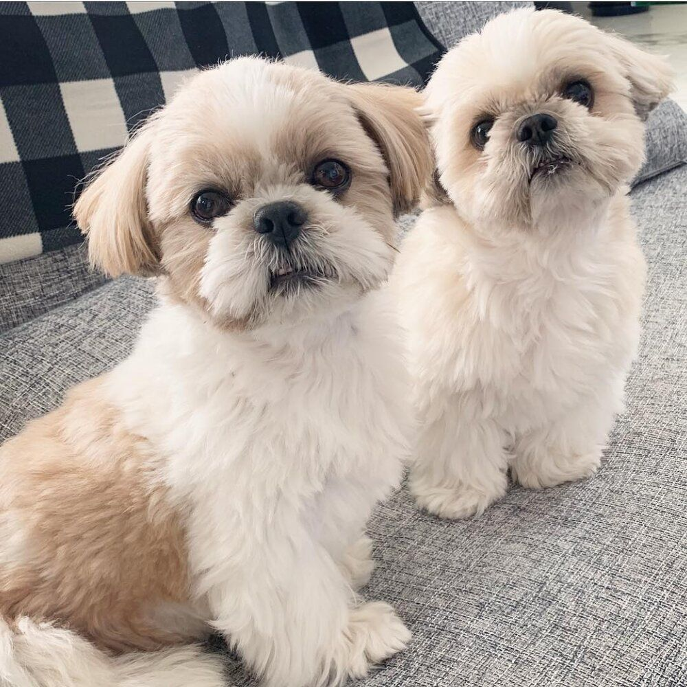Shihtzu — TRAINED Shihtzu puppies for sale — Trained Shih