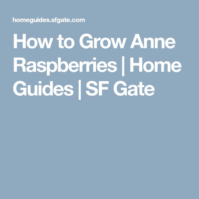 How to grow anne raspberries home guides sf gate