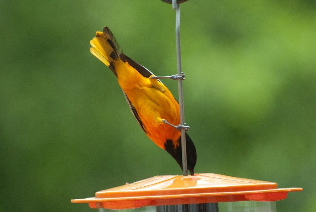 Attract orioles with sugar nectar feeders hanging oranges