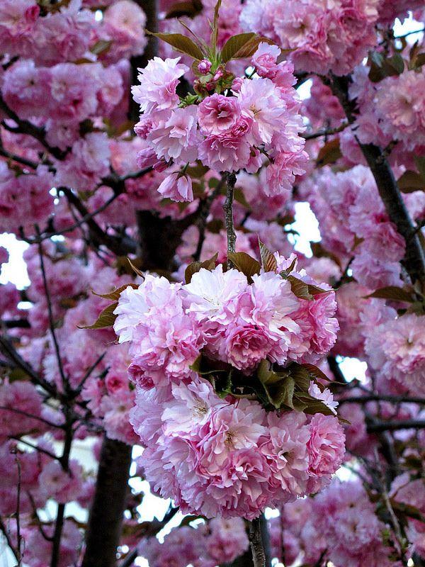 Spring Blossoms Kentlands Img 6090 Spring Blossom Ornamental Trees Blossom