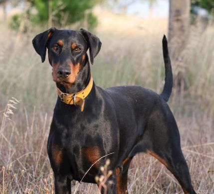 Natural Ears And Tail Beautiful Dobermanns Doberman Doberman