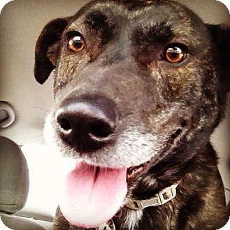 Fenton, MO Labrador Retriever/Boxer Mix. Meet Twix, a