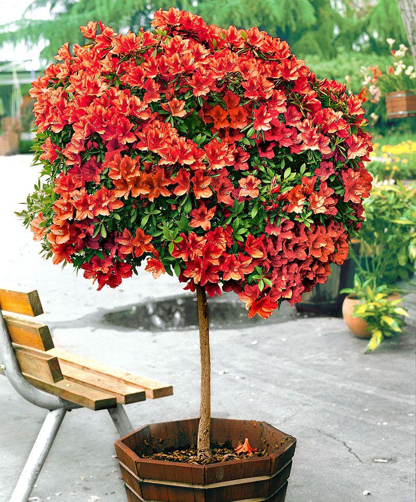 Azal e japonaise greff e sur tige arbres arbustes for Plante japonaise exterieur