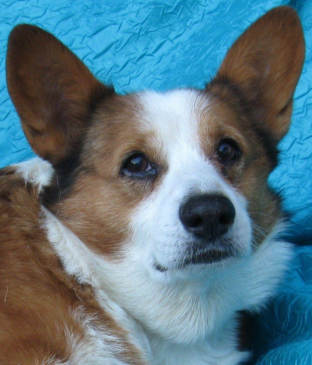Pembroke Welsh dog for Adoption in Cuba, NY. ADN