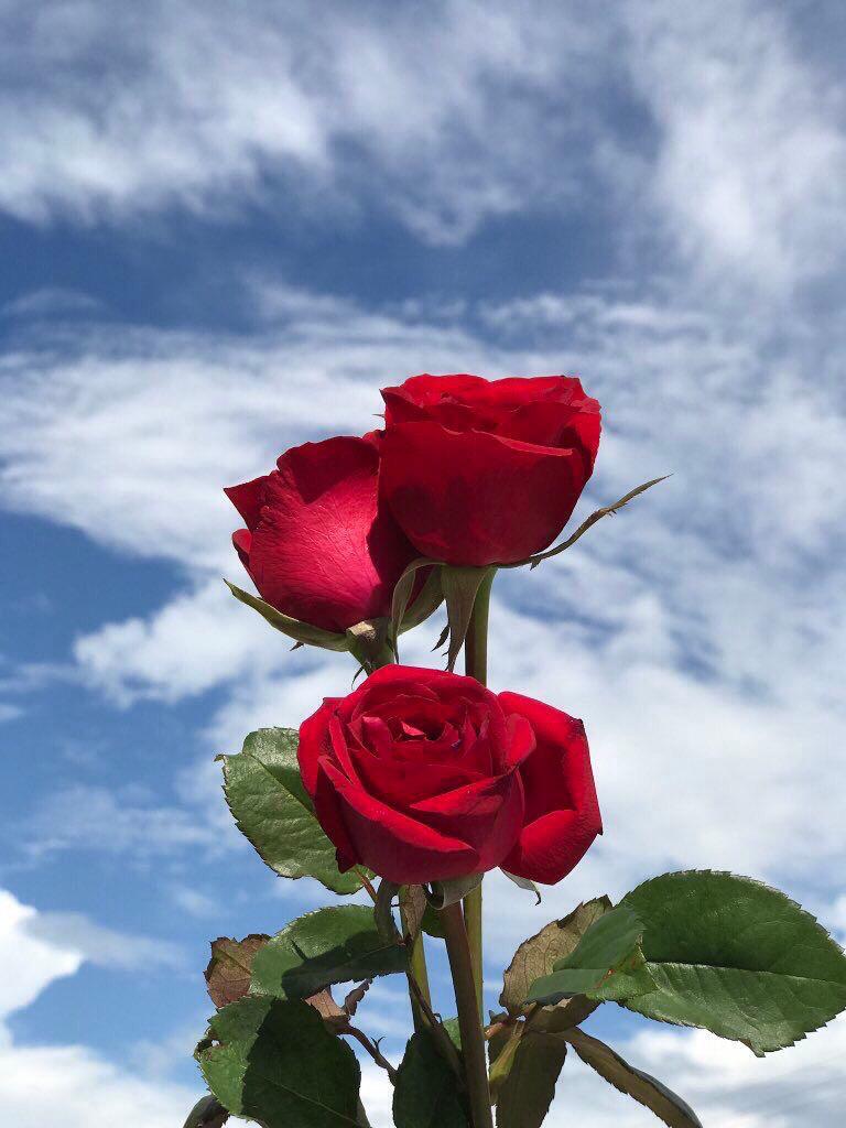 Red Roses , Blue , Sky , Wallpaper , Tumblr | Red roses wallpaper, Flower aesthetic, Sky aesthetic