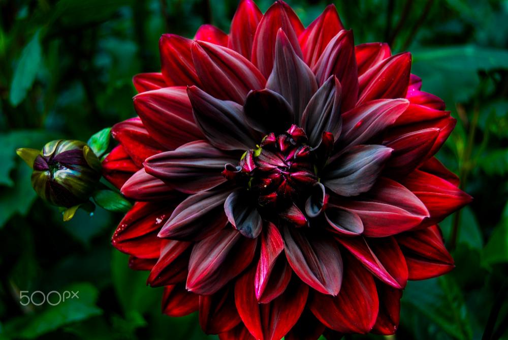 Red Black Dahlia By Apostolos Antoniadis Photo 282587169 500px Black Dahlia Dahlia Dahlia Flower