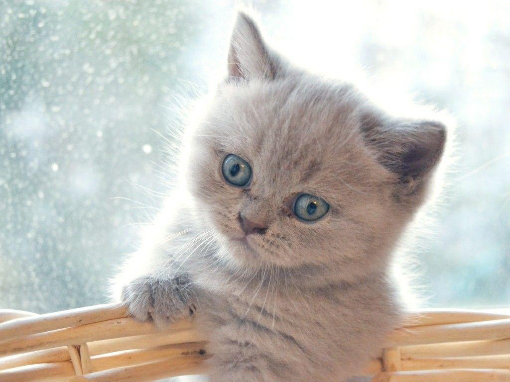 Cuánto Vive Un Gato Persa Gato Persa Gatos Mascotas