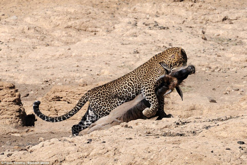 Dinner: One of the Big FIve - leopards, lions, elephants, cape buffalo, and rhinoceros - leopards are the strongest of the cats 'pound for pound' and have an incredible ability to drag prey of the same weight up trees to avoid it being stolen by scavengers and vultures. They are notoriously secretive and have a more diverse diet than lions and are consequently much harder to spot as their hunting patterns are less predictable