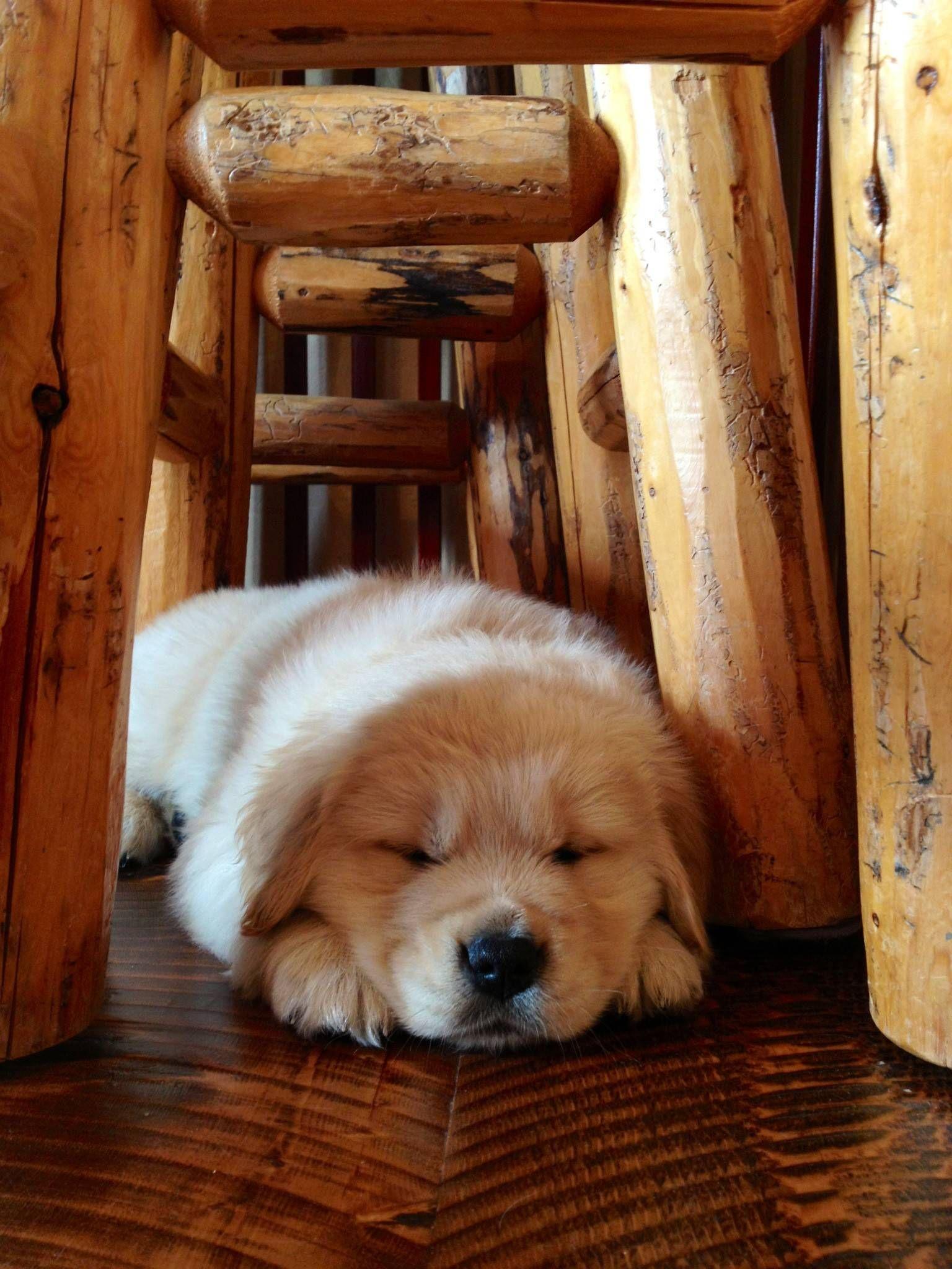 Puppy Sleeping Under A Chair Sssssssssssss With Images