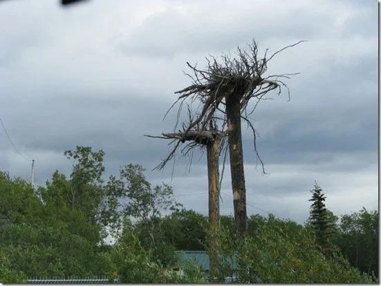Upside Down Tree In Alaska How