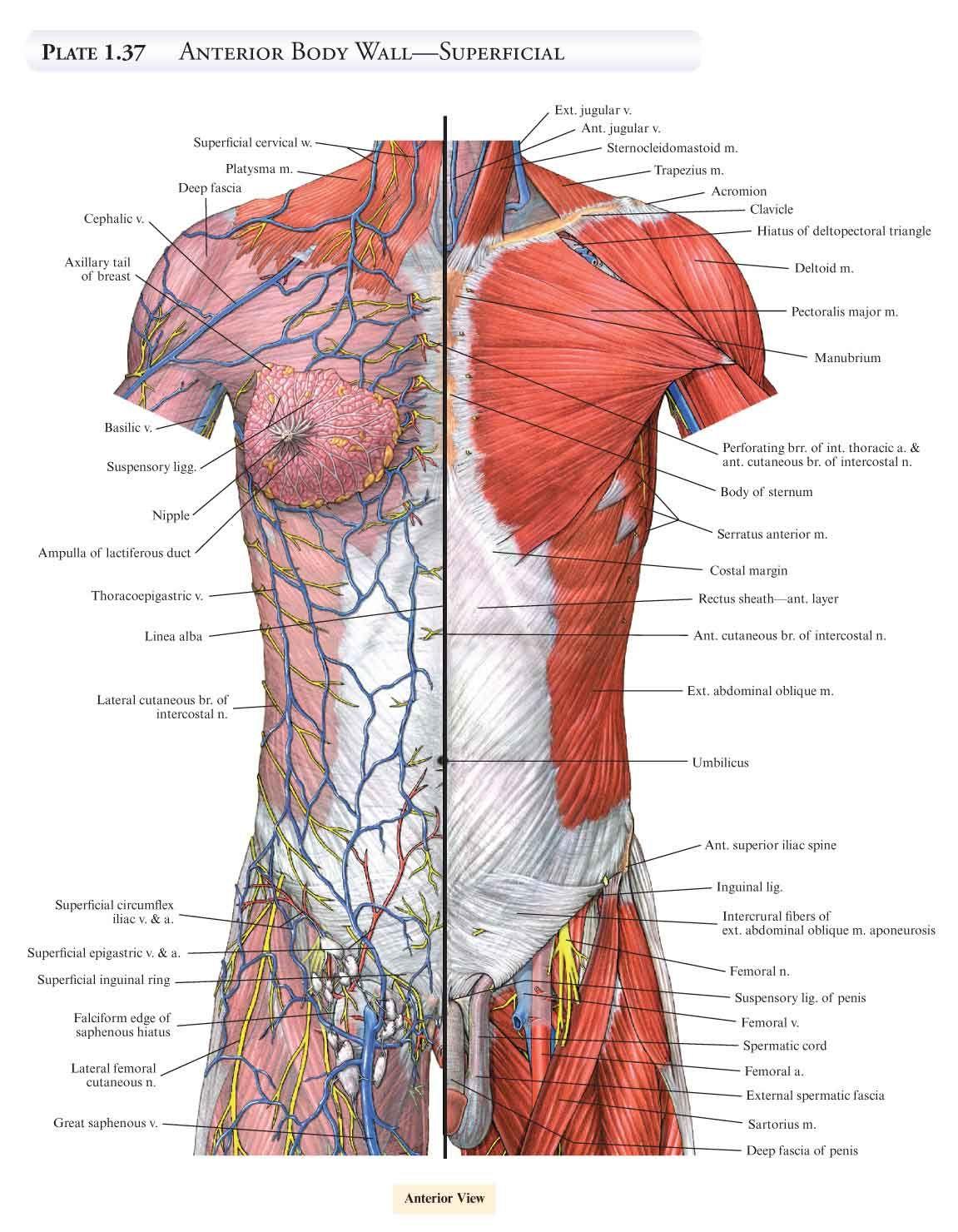 Human Body Anatomy Muscles Tempat Untuk Dikunjungi Pinterest