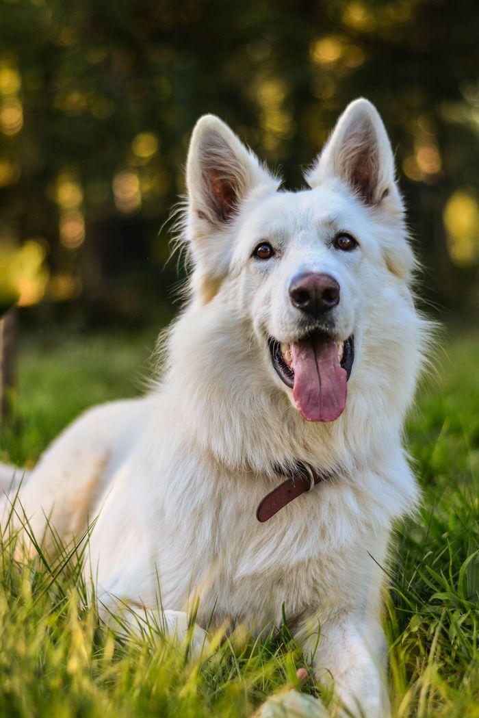 Happy face #white #swiss #shepherd .