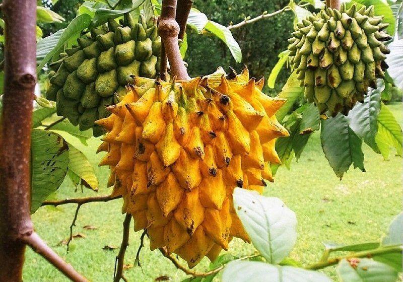 Mudas de Beribá Amarelo - Polpa Deliciosa e Suculenta - Jardim Exótico - O maior portal de mudas do Brasil.