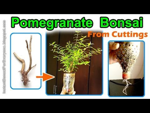 Pomegranate Bonsai From Cuttings In Air Pruning Pots Anar Bonsai Youtube Bonsai Pomegranate Prune