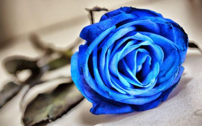 Die Rosenfarbe Bedeutung Beherrschen Sie Die Blumensprache Farbe Rose Blaue Pflanzen Blaue Rose
