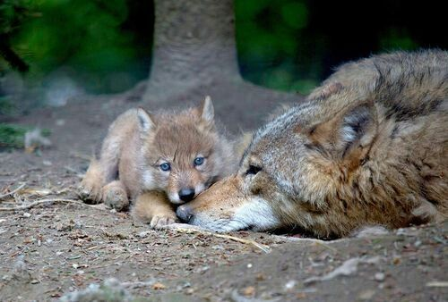 A Wolf pup and Mom