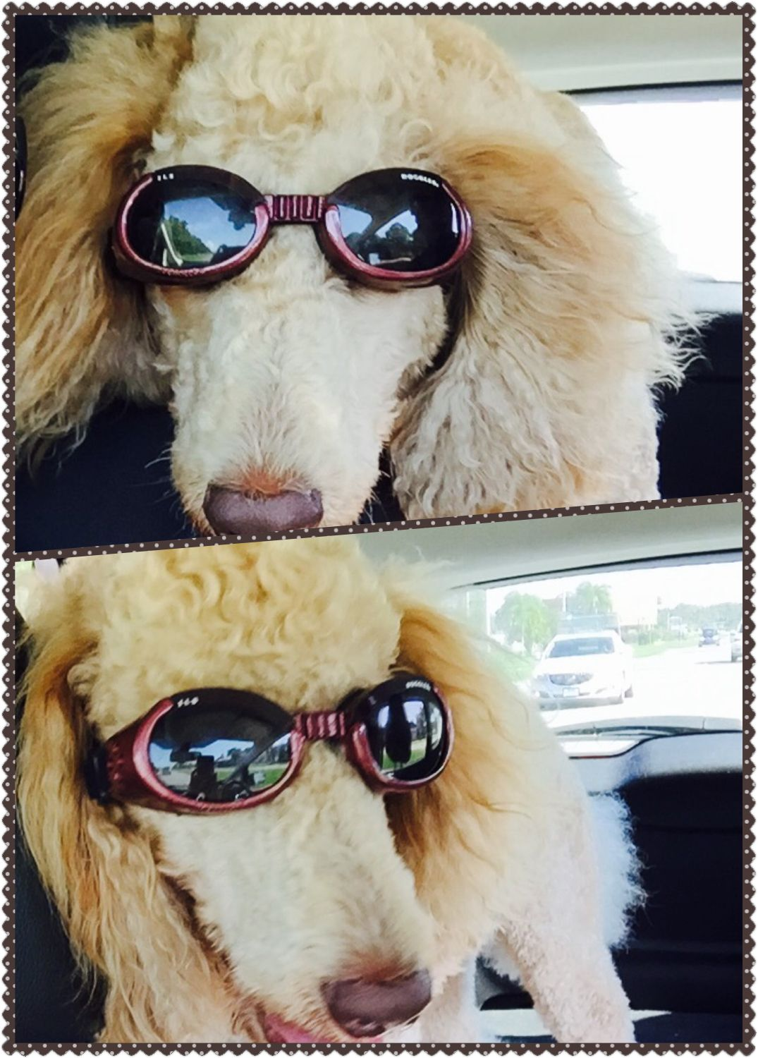Pin By Louis Vuitton On Standard Poodle With Images Standard Poodle Stud Dog Poodle