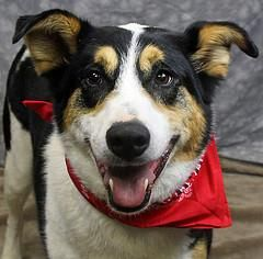 Meet Wrigley a Petfinder adoptable Border Collie Dog | Louisville, KY | Is a brother just someone with the same mother? Or is a brother someone you play with, eat with,...