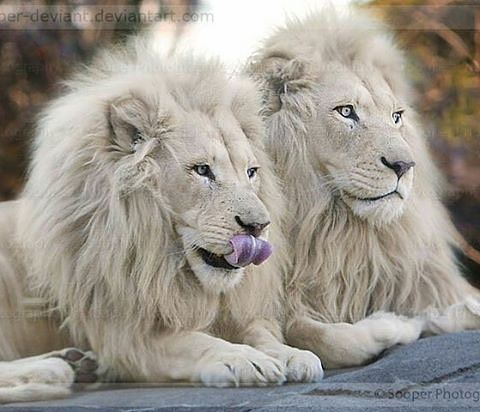 Two white King  Photography by ©Sooper photography #wildlives