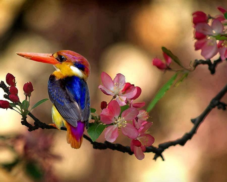 Martím-pescador-pigmeu-Oriental / Oriental Dwarf Kingfisher (Ceyx erithaca)